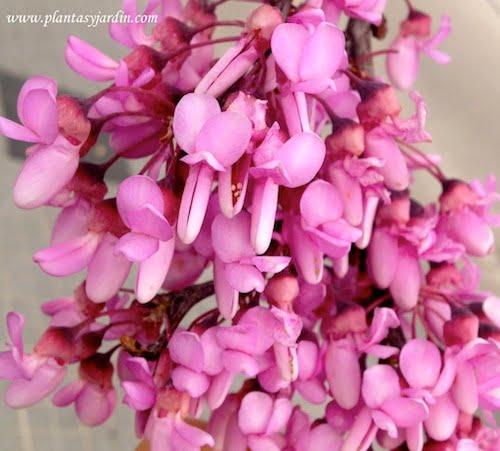 Cercis siliquastrum detalle de flor
