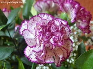 Clavel la flor nacional de España