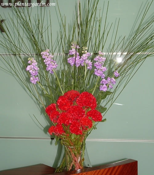 Cresta de gallo rojos con perfumados Alhelíes