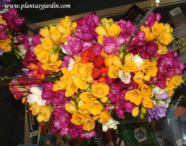 Freesias detalle de flores