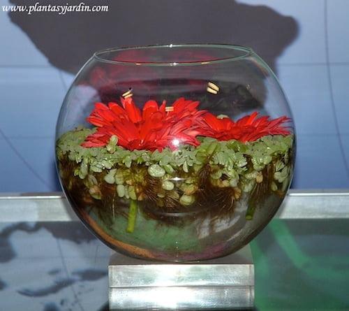Gerberas con plantas flotantes Acordeon de agua