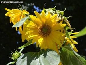 Girasol Helianthus annus en verano