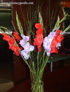 Gladiolos rojos y lilas con Retama