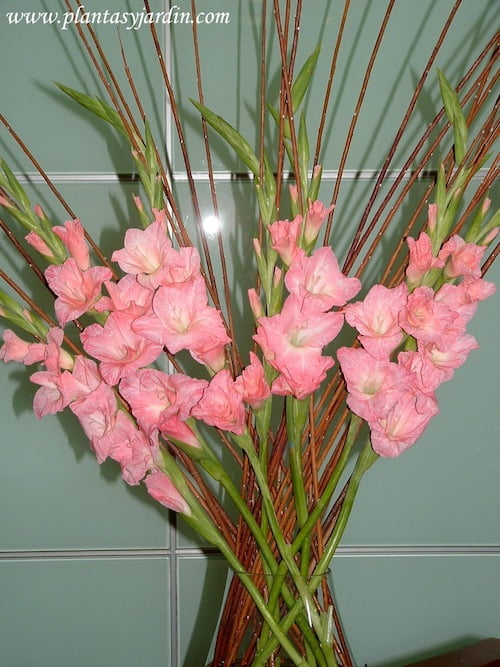 Gladiolos rosas con varas de mimbre