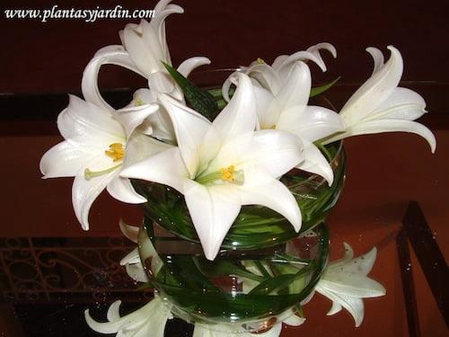Lilium candidum Azucenas con Cortaderas
