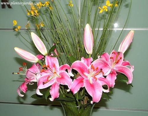 Liliums Stargazer perfumados en bouquet floral con Retama