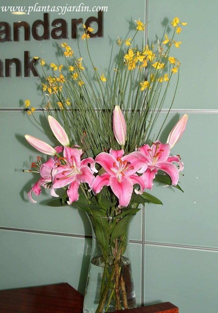 Liliums Stargazer perfumados con Retama