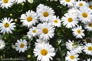 Margaritas en flor en primavera