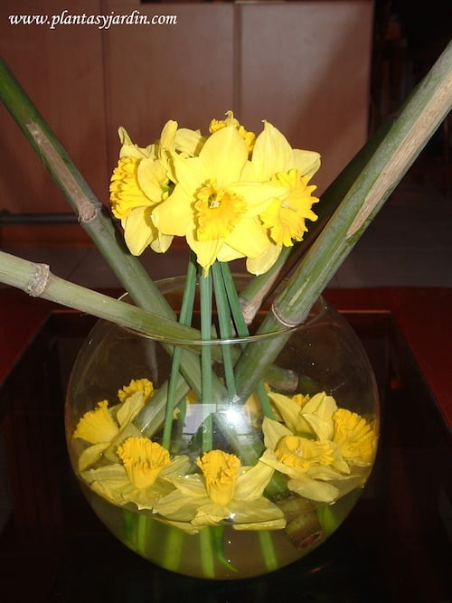 Narcisos bouquet con Bambu