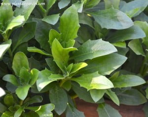 Osteospemum ecklonis detalle de hojas
