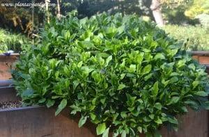 Osteospermum ecklonis cultivada en jardinera