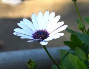 Osteospermum ecklonis detalle de flor en otoño