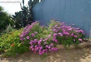Osteospermum ecklonis en el Jardi botanic de Marimurtra