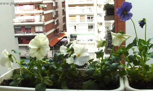 Pensamientos blancos y lilas en jardineras