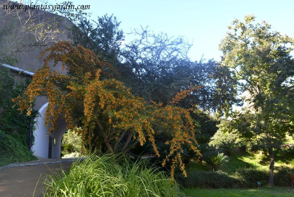 Pyracantha angustifolia arbustos con bayas dan vida y color al jardin de otono e invierno
