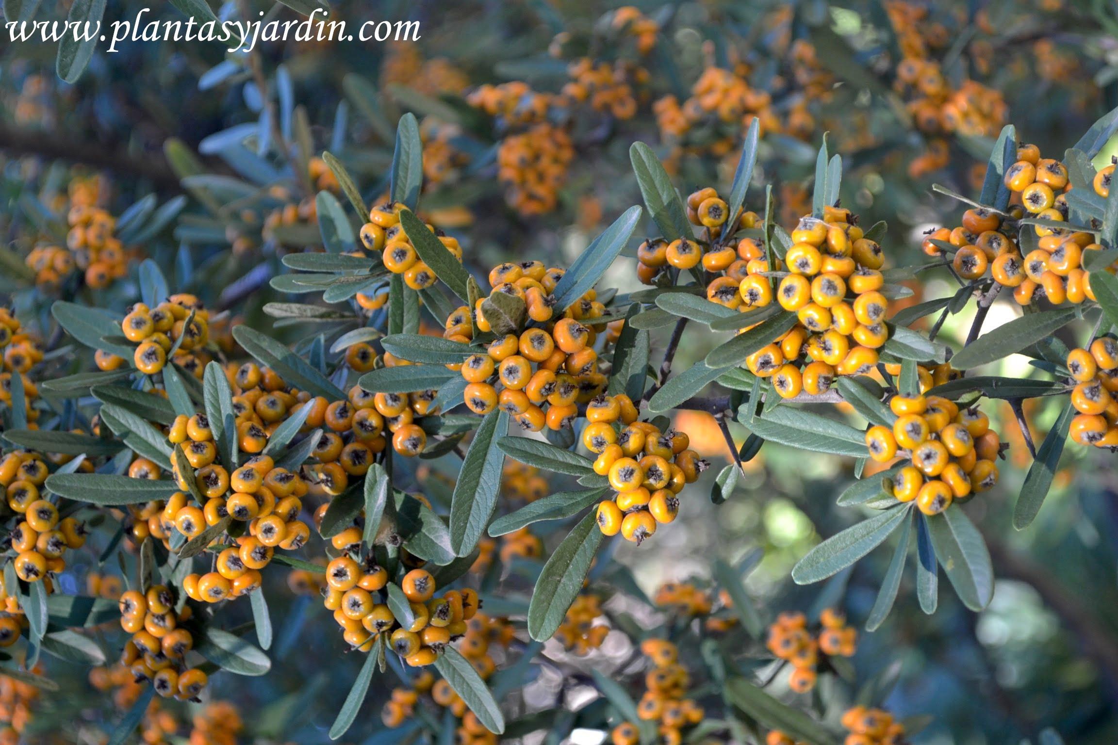 Pyracantha angustifolia detalle de follaje y bayas naranjas