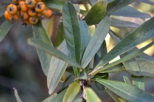 Pyracantha angustifolia detalle de hojas