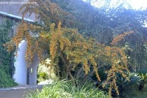 Pyracantha angustifolia lleno de bayas en pleno otoño