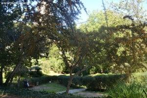 Pyracantha angustifolia porte amplio y despatarrado
