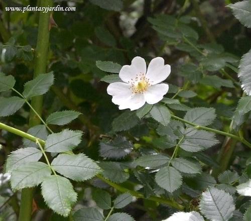 Rosa canina detalle de flor blanca