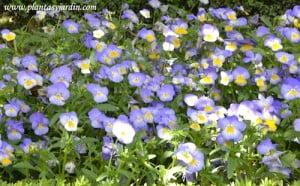 Viola tricolor detalle