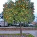 Naranjos con coles ornamentales al borde del Guadalquivir