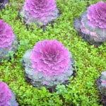 coles ornamentales Brassica oleracea en invierno
