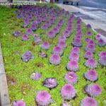 coles ornamentales cultivados como plantines de estacion en invierno