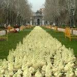 macizo de plantines de estacion de Coles de jardin o Repollo de adorno en el Parque del Retiro Madrid