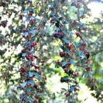 Cotoneaster pannosus con bayas en otoño
