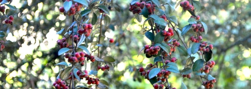 Cotoneaster pannosus