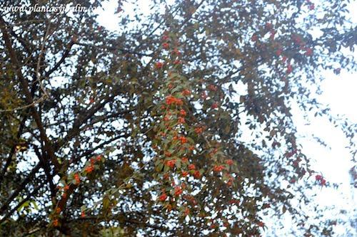 Cotoneaster pannosus
