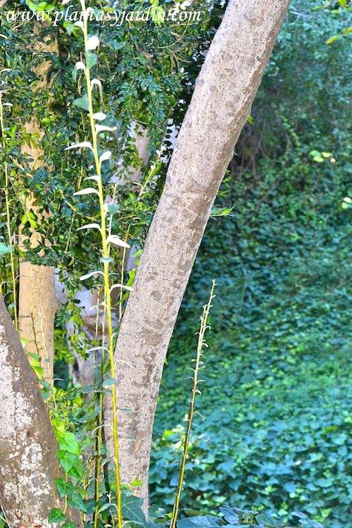 Cotoneaster pannosus detalle de tallo