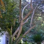Cotoneaster pannosus detalle del crecimiento de tallo y ramas