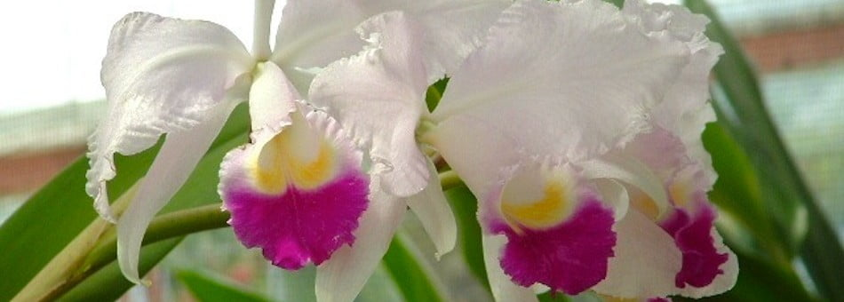 Cattleya trianae, la flor nacional de Colombia
