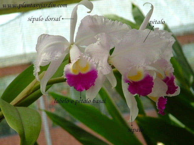 Orquídea Cattleya partes de la flor