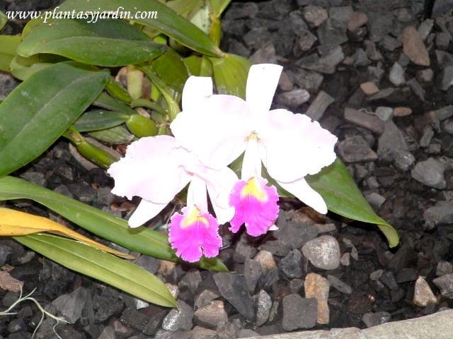 Orquídea terrestre Cattleya cultivada en invernadero con carbón vegetal