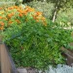 Petroselinum crispum cultivado en jardinera