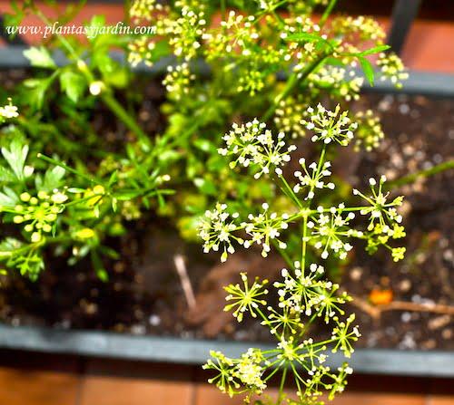 Petroselinum la flor del perejil