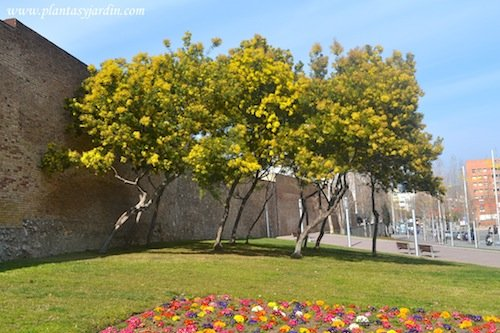 Acacia dealbata florecida a finales del invierno con macizo de Primulas