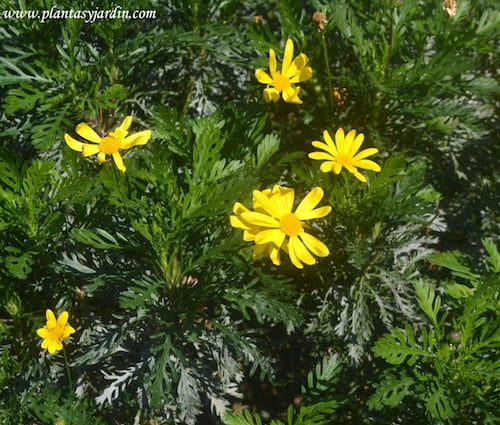 Euryops pectinatus detalle de flor