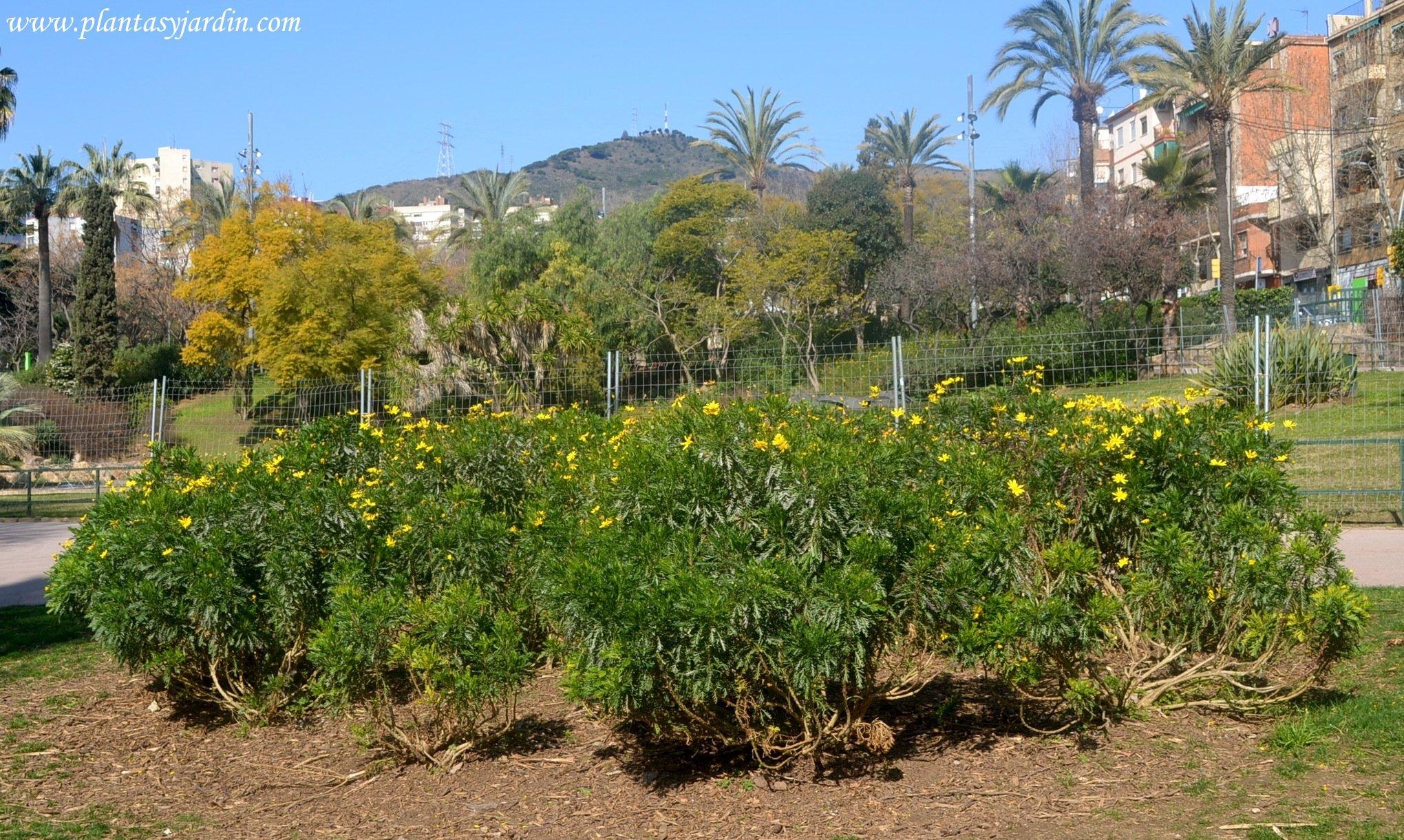 Arbustos con floraci n invernal plantas y jard n - Arbustos perennes con flor ...