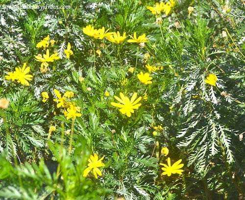 Euryops pectinatus follaje y flores