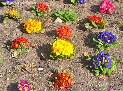 Primulas acaulis o vulgaris cultivadas en macizo floral en invierno