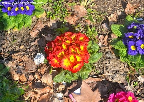Primulas vulgaris florecidas en invierno
