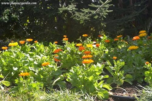 Calendula officinalis florecida a comienzos de la primavera
