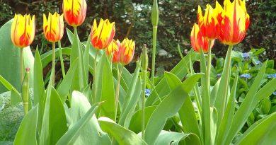 Tulipanes rojos y amarillos en la Promenade Plantee