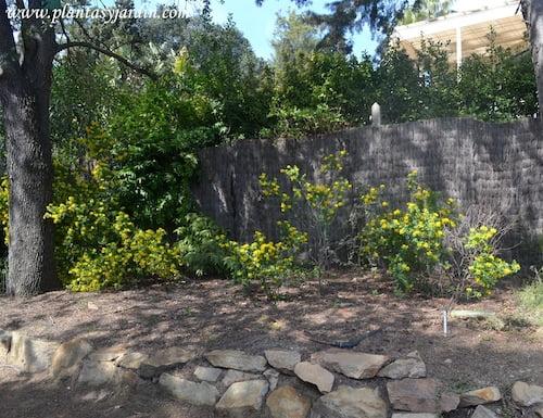 Coronilla glauca arbusto nativo de la region mediterranea en Blanes