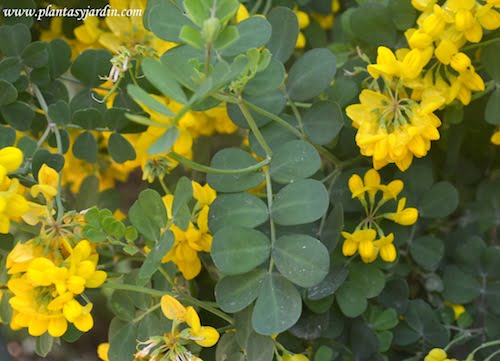 Coronilla glauca conocida como ruda inglesa hojas imparipinnadas