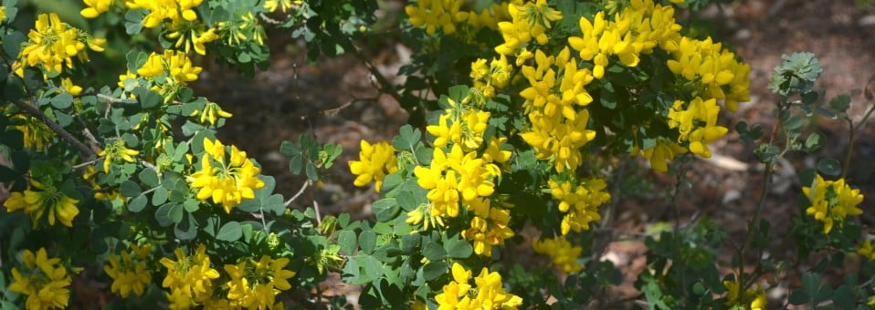 Coronilla glauca, arbusto de floracin invernal-primaveral